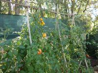 De laatste tomaten van dit jaar